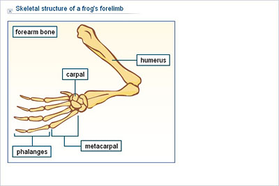What is the structure of a frog bone?