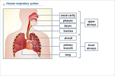 Biology upper secondary ydp illustration human respiratory biology upper secondary ydp illustration human respiratory system ccuart Images