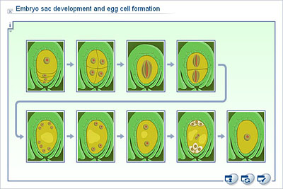 types of embryo sac
