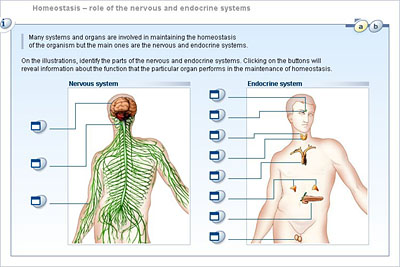 Biology lower secondary ydp student activity homeostasis homeostasis role of the nervous and endocrine systems ccuart Image collections