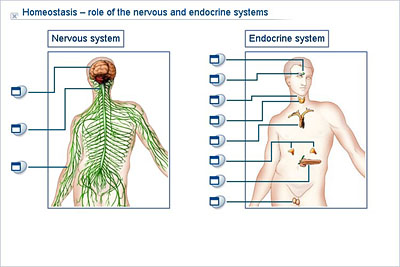Biology lower secondary ydp simulation homeostasis role of homeostasis role of the nervous and endocrine systems ccuart Image collections