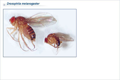 investigating inheritance in drosophila melanogaster The fruitfly drosophila melanogaster is an ideal organism for the study of circadian rhythms, its clock shares its design and molecular components with that of mammals but it is much easier to manipulate.